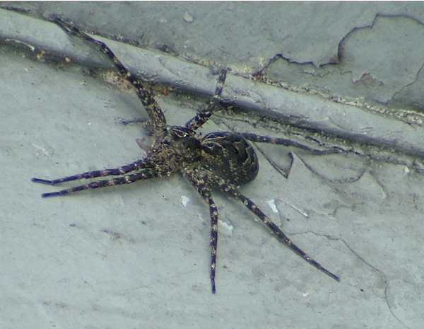 5inch dock spider picture fishing at sandy haven camp lake nipissing french river ontario canada