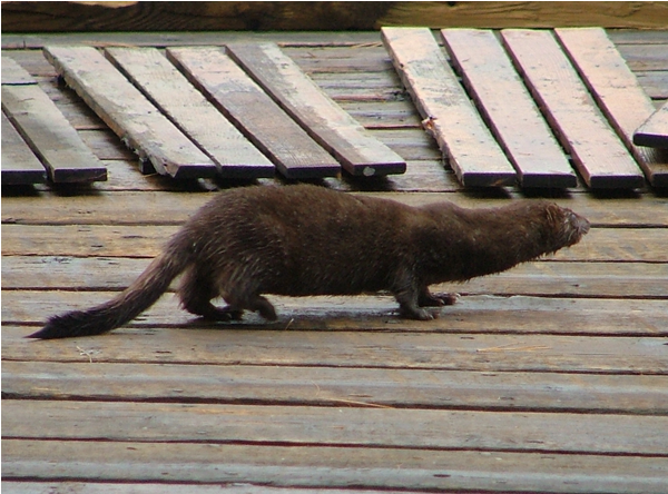 mink picture fishing at sandy haven camp lake nipissing french river ontario canada